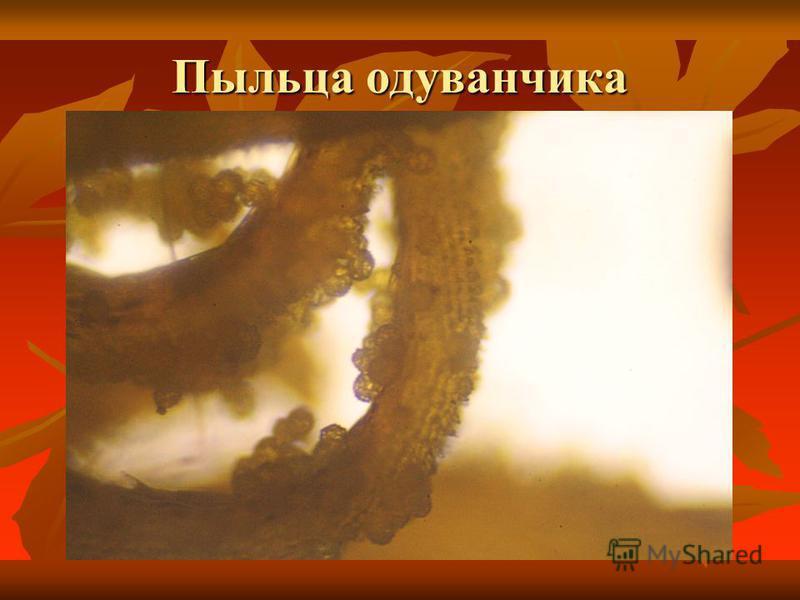 Пыльца одуванчика