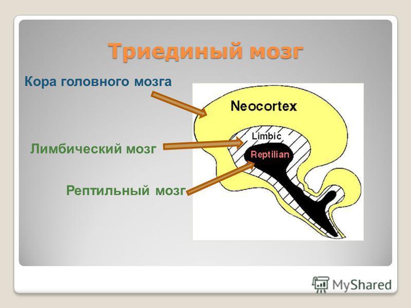 Триединый мозг Рептильный мозг Лимбический мозг Кора головного мозга