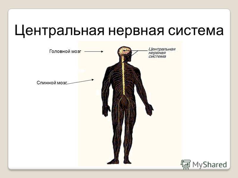 Центральная нервная система Головной мозг Спинной мозг