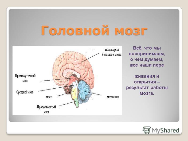 Головной мозг Всё, что мы воспринимаем, о чем думаем, все наши переживания и открытия – результат работы мозга.