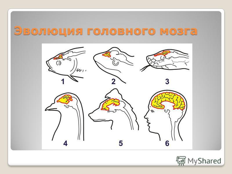 Эволюция головного мозга