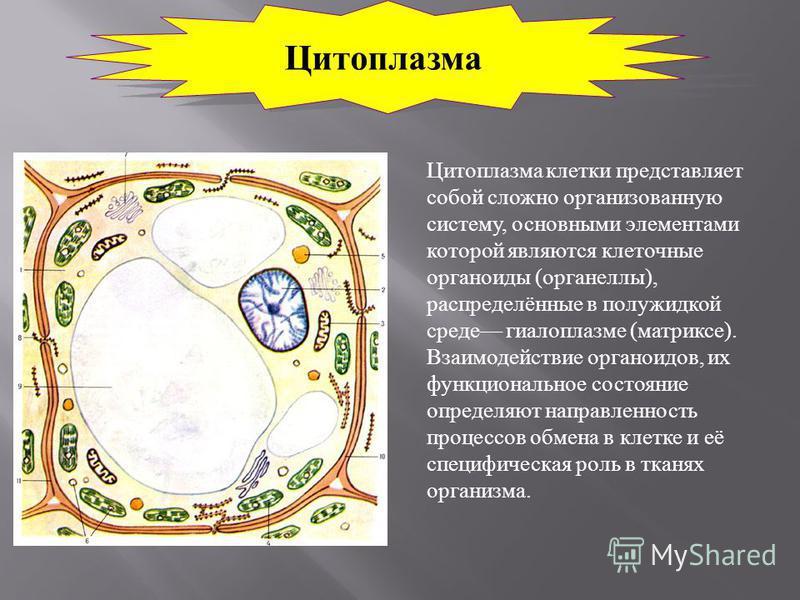 Цитоплазма Цитоплазма клетки представляет собой сложно организованную систему, основными элементами которой являются клеточные органоиды ( органеллы ), распределённые в полужидкой среде гиалоплазме ( матриксе ). Взаимодействие органоидов, их функцион