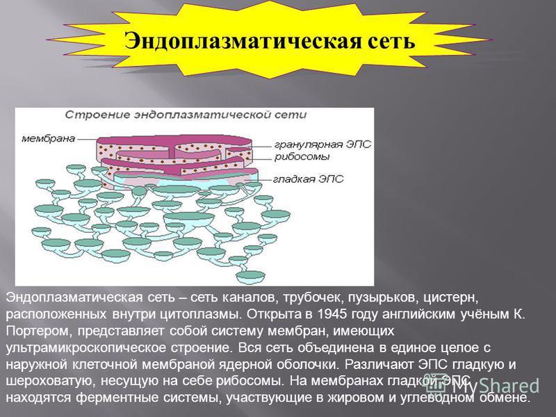 Эндоплазматическая сеть Эндоплазматическая сеть – сеть каналов, трубочек, пузырьков, цистерн, расположенных внутри цитоплазмы. Открыта в 1945 году английским учёным К. Портером, представляет собой систему мембран, имеющих ультрамикроскопическое строе