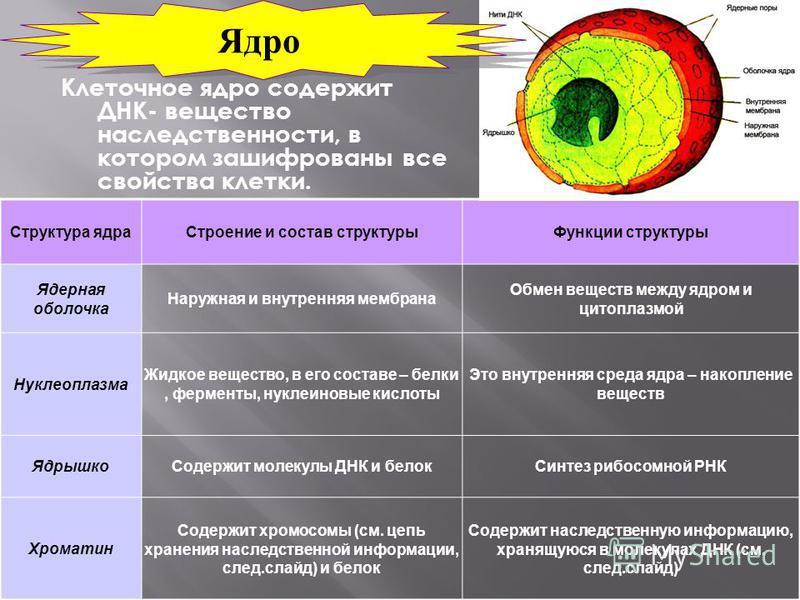 Клеточное ядро содержит ДНК- вещество наследственности, в котором зашифрованы все свойства клетки. Структура ядра Строение и состав структуры Функции структуры Ядерная оболочка Наружная и внутренняя мембрана Обмен веществ между ядром и цитоплазмой Ну