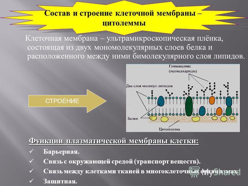 Клеточная мембрана – ультрамикроскопическая плёнка, состоящая из двух мономолекулярных слоев белка и расположенного между ними бимолекулярного слоя липидов. Функции плазматической мембраны клетки: Барьерная. Связь с окружающей средой (транспорт вещес