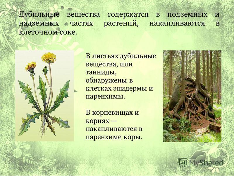 Дубильные вещества содержатся в подземных и надземных частях растений, накапливаются в клеточном соке. В листьях дубильные вещества, или танниды, обнаружены в клетках эпидермы и паренхимы. В корневищах и корнях накапливаются в паренхиме коры.