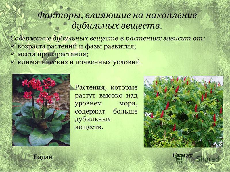 Факторы, влияющие на накопление дубильных веществ. Содержание дубильных веществ в растениях зависит от: возраста растений и фазы развития; места произрастания; климатических и почвенных условий. Растения, которые растут высоко над уровнем моря, содер