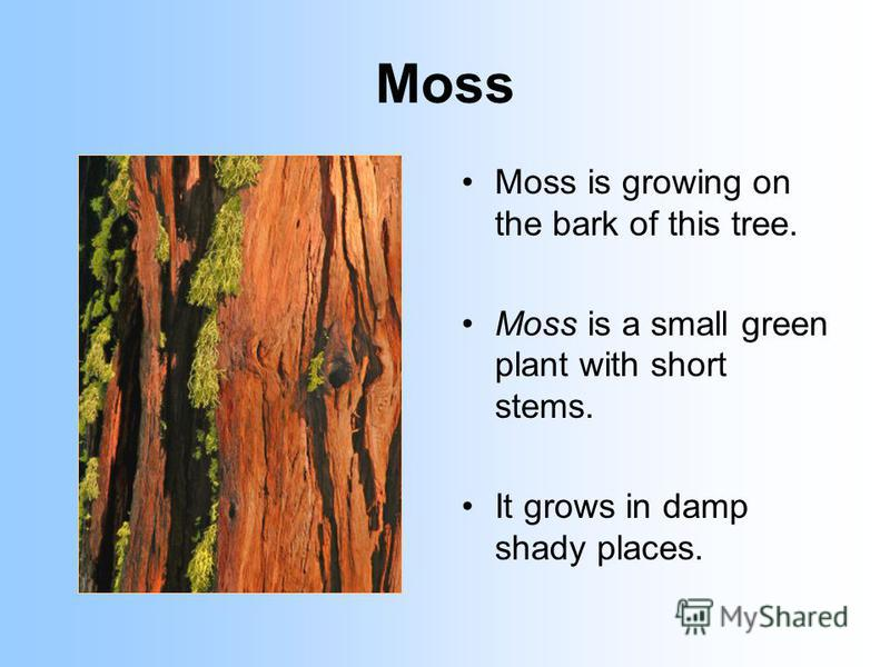 Moss Moss is growing on the bark of this tree. Moss is a small green plant with short stems. It grows in damp shady places.