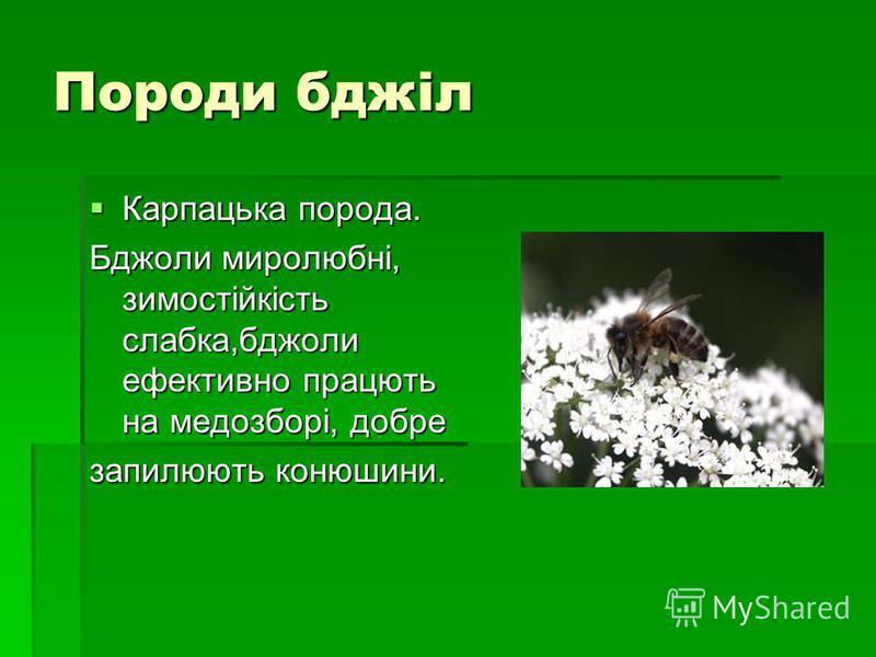 Породи бджіл Карпацька порода. Карпацька порода. Бджоли миролюбні, зимостійкість слабка,бджоли ефективно працють на медозборі, добре запилюють конюшини.