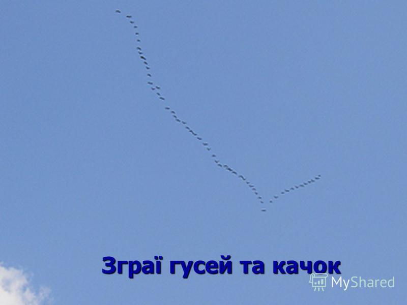 Зграї гусей та качок