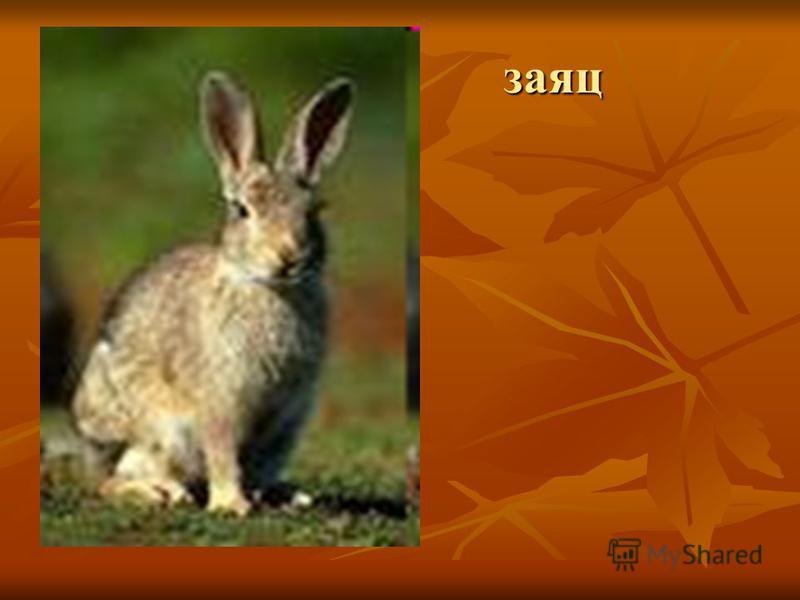 заяц заяц