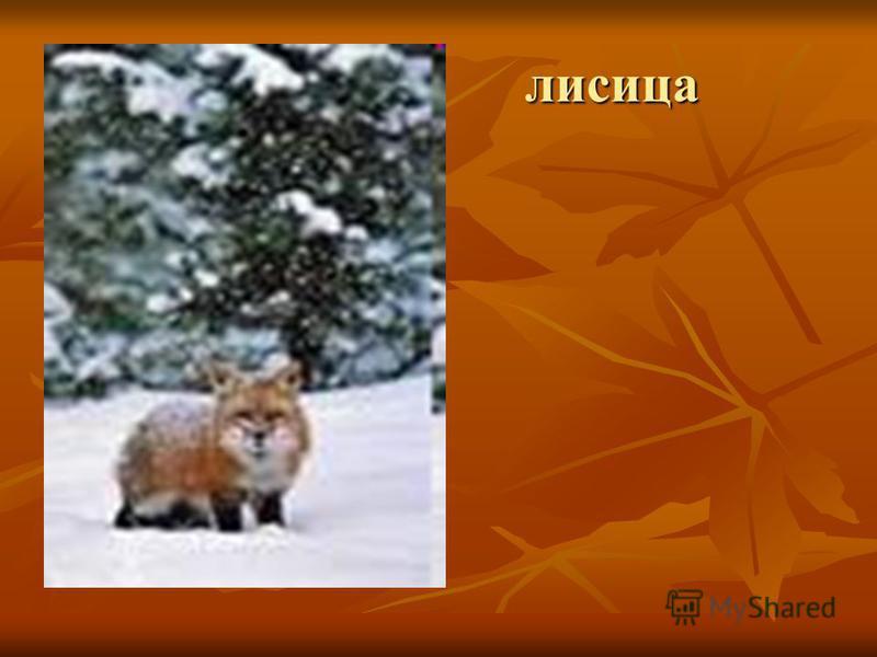 лисица лисица