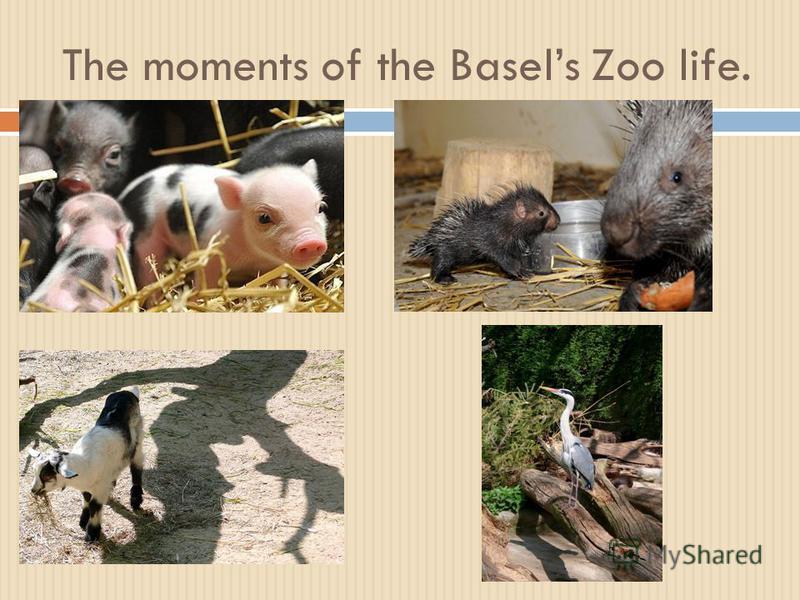 Каждый год приблизительно 6 '000 животных ( принадлежащий 600 разновидностям ) живут здесь. И почти миллион человек посещают « Золли ». Это делает зоопарк наиболее часто посещаемым и привлекательным местом в Швейцарии после Рейнских Падений в Шэффхэю