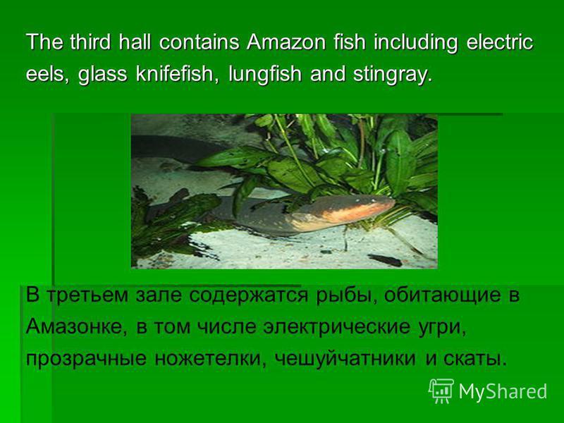 The third hall contains Amazon fish including electric eels, glass knifefish, lungfish and stingray. В третьем зале содержатся рыбы, обитающие в Амазонке, в том числе электрические угри, прозрачные ноже телки, чешуйчатники и скаты.
