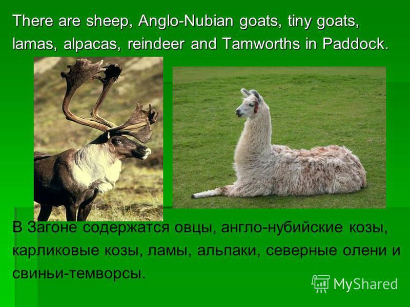 There are sheep, Anglo-Nubian goats, tiny goats, lamas, alpacas, reindeer and Tamworths in Paddock. В Загоне содержатся овцы, англо-нубийские козы, карликовые козы, ламы, альпаки, северные олени и свиньи-темворсы.