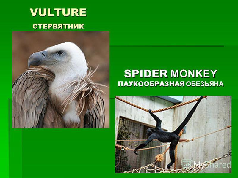 VULTURE СТЕРВЯТНИК SPIDER MONKEY ПАУКООБРАЗНАЯ ОБЕЗЬЯНА