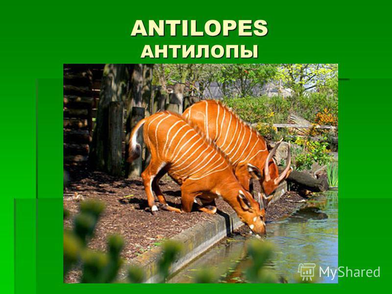 ANTILOPES АНТИЛОПЫ
