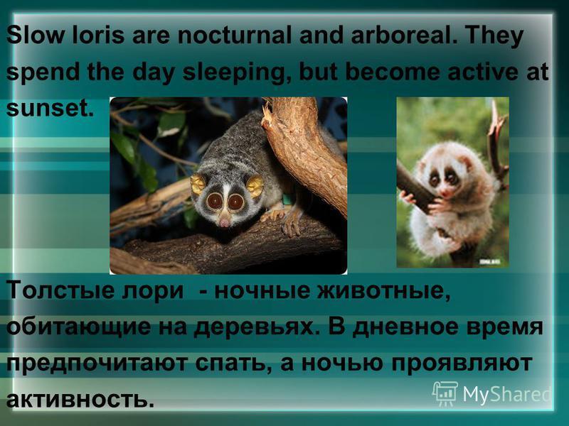 Slow loris are nocturnal and arboreal. They spend the day sleeping, but become active at sunset. Толстые лори - ночные животные, обитающие на деревьях. В дневное время предпочитают спать, а ночью проявляют активность.