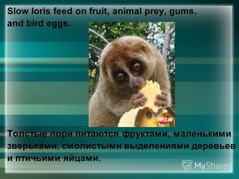 Slow loris feed on fruit, animal prey, gums, and bird eggs. Толстые лори питаются фруктами, маленькими зверьками, смолистыми выделениями деревьев и птичьими яйцами.