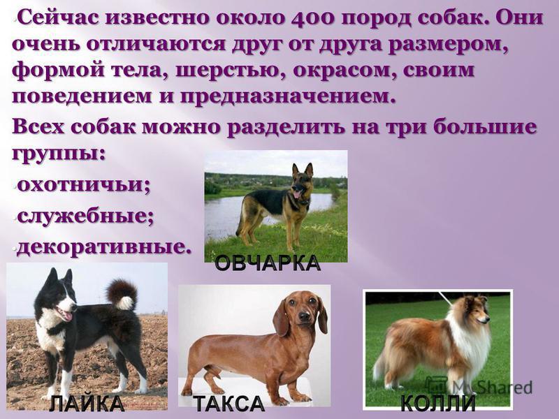 Сейчас известно около 400 пород собак. Они очень отличаются друг от друга размером, формой тела, шерстью, окрасом, своим поведением и предназначением. Сейчас известно около 400 пород собак. Они очень отличаются друг от друга размером, формой тела, ше