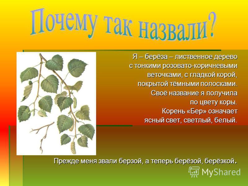 Я – берёза – лиственное дерево Я – берёза – лиственное дерево с тонкими розовато-коричневыми с тонкими розовато-коричневыми веточками, с гладкой корой, веточками, с гладкой корой, покрытой тёмными полосками. покрытой тёмными полосками. Своё название