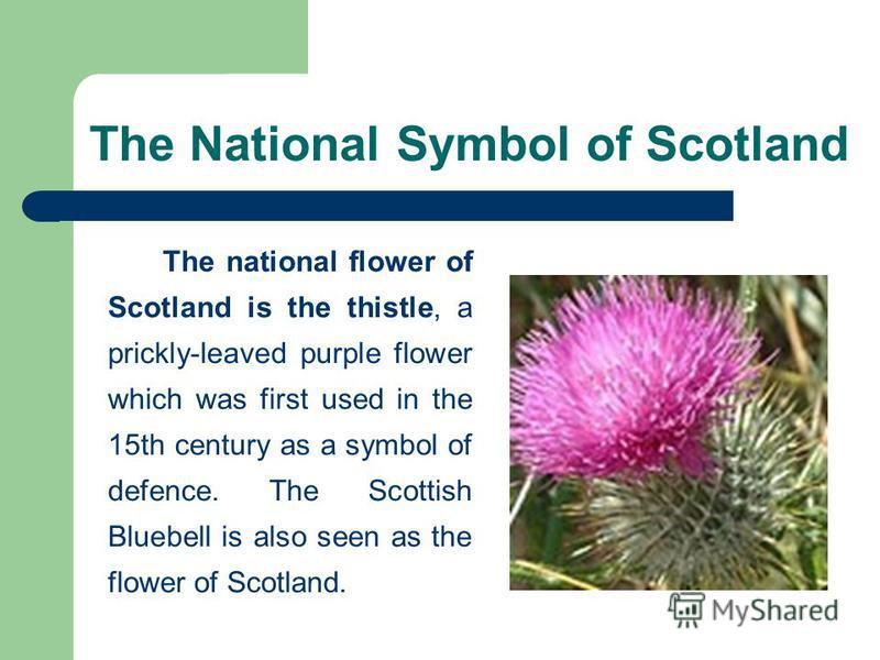 The National Symbol of Scotland The national flower of Scotland is the thistle, a prickly-leaved purple flower which was first used in the 15th century as a symbol of defence. The Scottish Bluebell is also seen as the flower of Scotland.