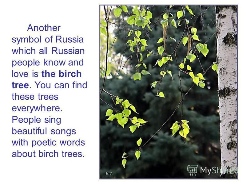 Another symbol of Russia which all Russian people know and love is the birch tree. You can find these trees everywhere. People sing beautiful songs with poetic words about birch trees.