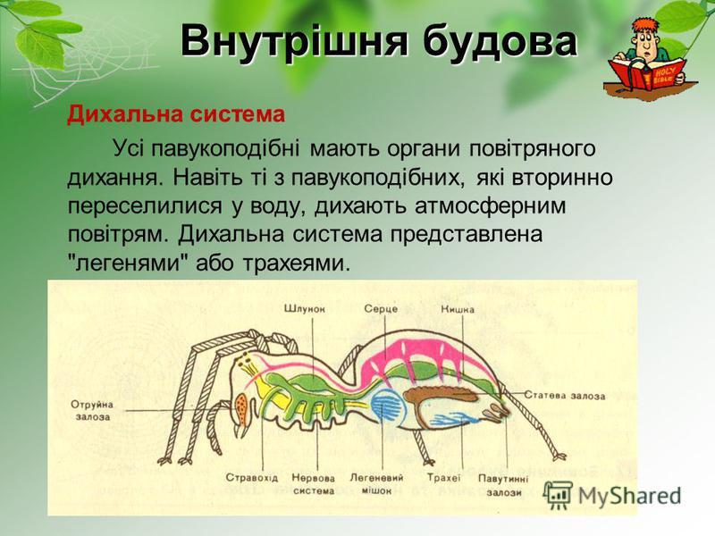 Внутрішня будова Дихальна система Усі павукоподібні мають органи повітряного дихання. Навіть ті з павукоподібних, які вторинно переселилися у воду, дихають атмосферним повітрям. Дихальна система представлена легенями або трахеями.