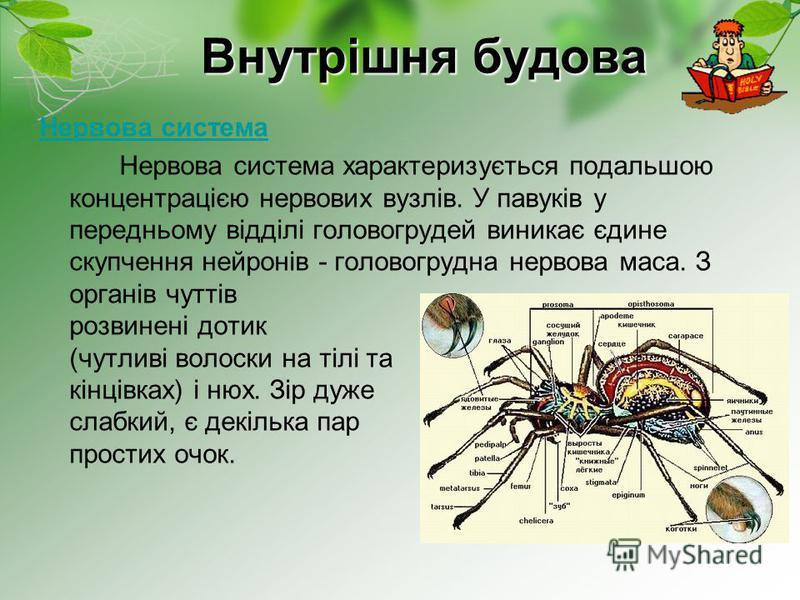 Внутрішня будова Нервова система Нервова система характеризується подальшою концентрацією нервових вузлів. У павуків у передньому відділі головогрудей виникає єдине скупчення нейронів - головогрудна нервова маса. З органів чуттів розвинені дотик (чут