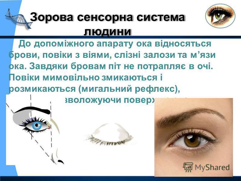До допоміжного апарату ока відносяться брови, повіки з віями, слізні залози та мязи ока. Завдяки бровам піт не потрапляє в очі. Повіки мимовільно змикаються і розмикаються (мигальний рефлекс), рівномірно зволожуючи поверхню ока.