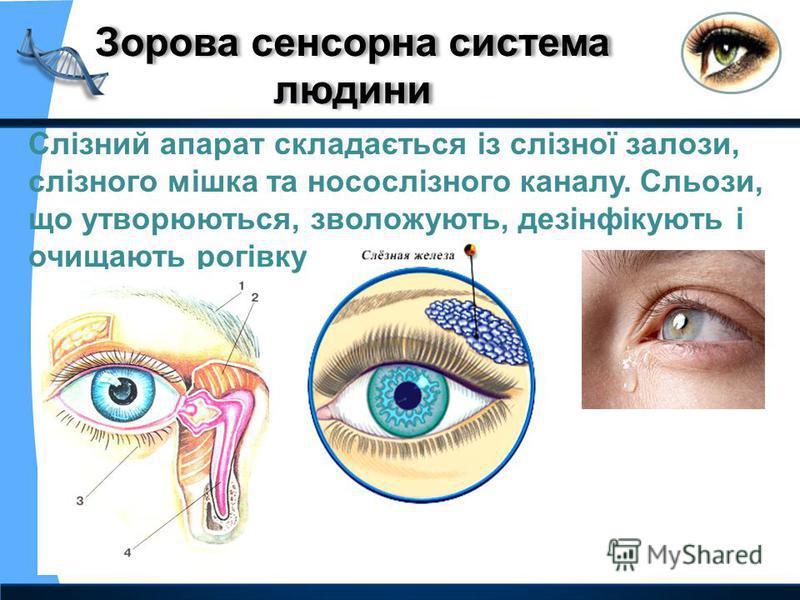 Слізний апарат складається із слізної залози, слізного мішка та носослізного каналу. Сльози, що утворюються, зволожують, дезінфікують і очищають рогівку ока.