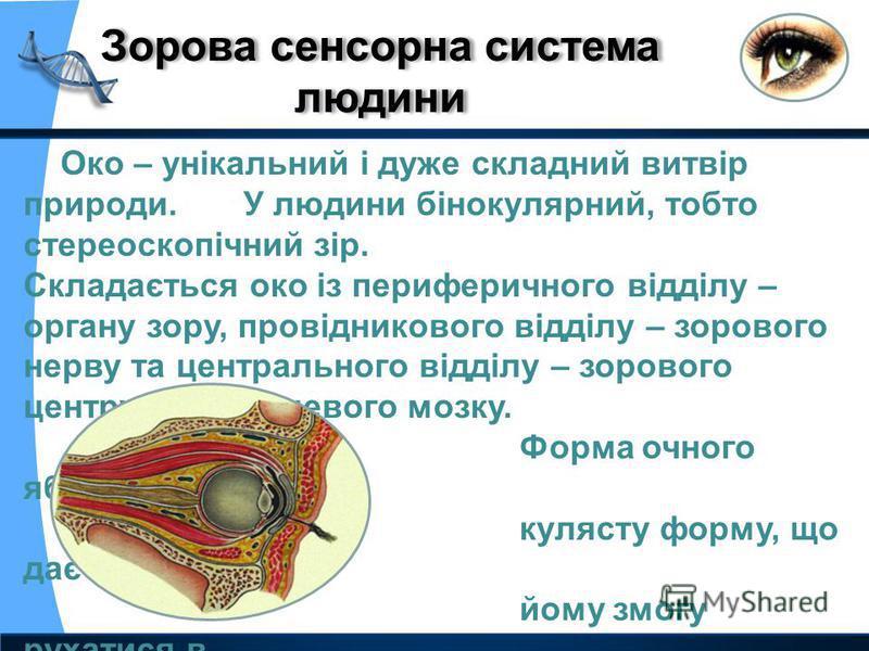 Око – унікальний і дуже складний витвір природи. У людини бінокулярний, тобто стереоскопічний зір. Складається око із периферичного відділу – органу зору, провідникового відділу – зорового нерву та центрального відділу – зорового центру кори кінцевог