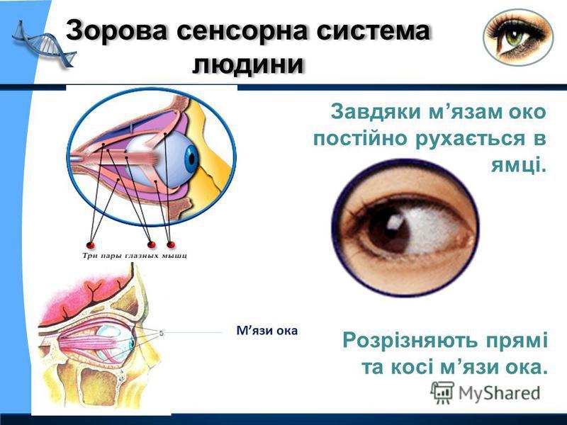 Завдяки мязам око постійно рухається в очній ямці. Мязи ока Розрізняють прямі та косі мязи ока.