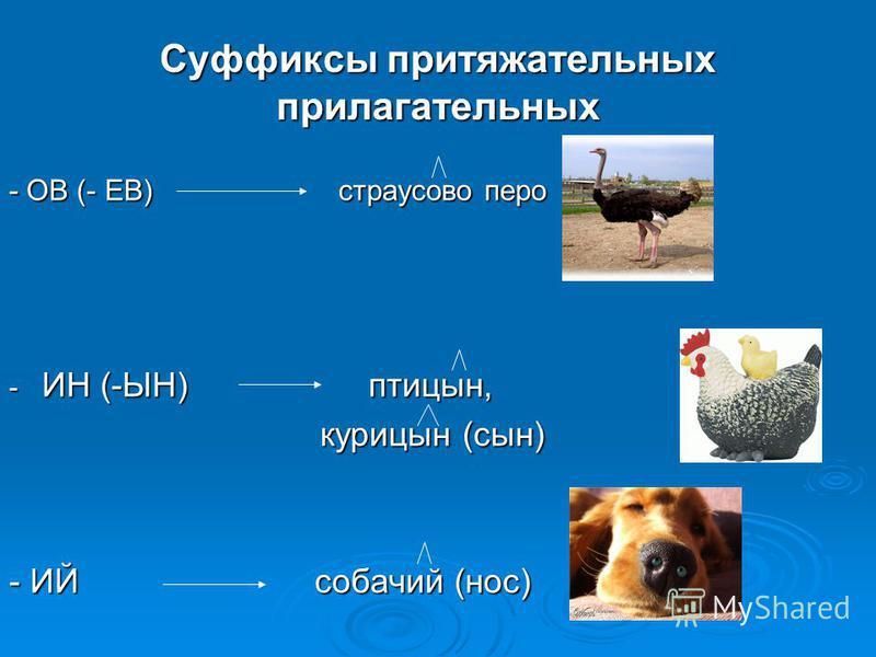 Суффиксы притяжательных прилагательных - ОВ (- ЕВ) страусово перо - ИН (-ЫН) птицын, курицын (сын) курицын (сын) - ИЙ собачий (нос)