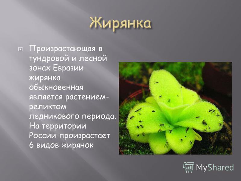 Произрастающая в тундровой и лесной зонах Евразии жирянка обыкновенная является растением- реликтом ледникового периода. На территории России произрастает 6 видов жирянок