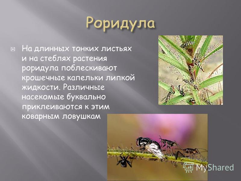 На длинных тонких листьях и на стеблях растения роридула поблескивают крошечные капельки липкой жидкости. Различные насекомые буквально приклеиваются к этим коварным ловушкам