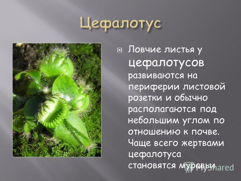 Ловчие листья у цефалотусов развиваются на периферии листовой розетки и обычно располагаются под небольшим углом по отношению к почве. Чаще всего жертвами цефалотуса становятся муравьи