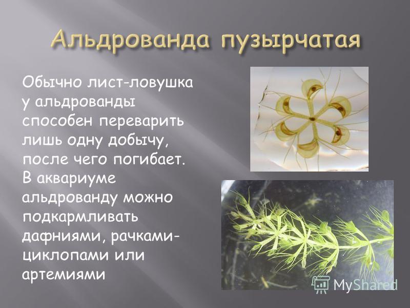Обычно лист-ловушка у альдрованды способен переварить лишь одну добычу, после чего погибает. В аквариуме альдрованду можно подкармливать дафниями, рачками- циклопами или артемиями