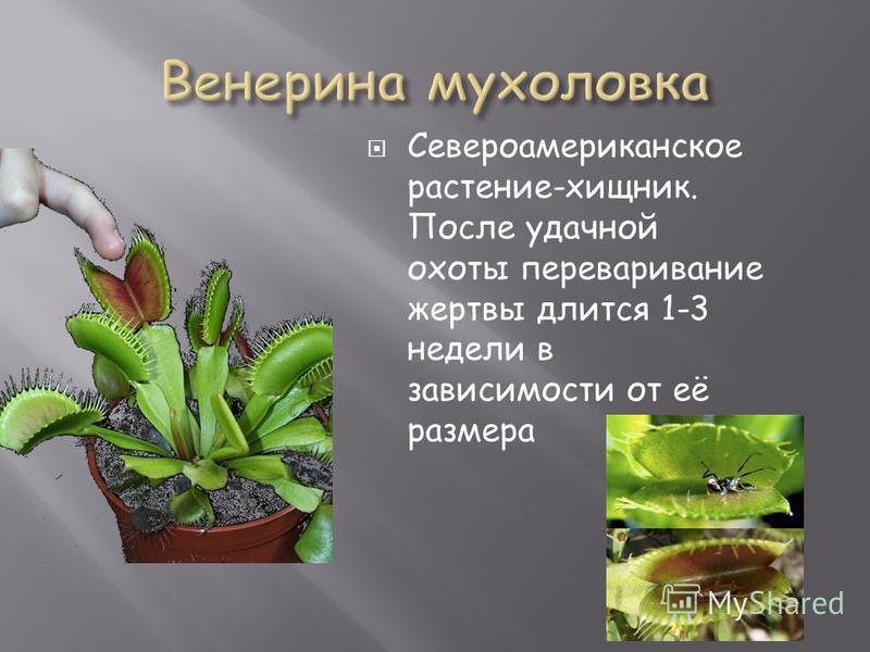 Североамериканское растение-хищник. После удачной охоты переваривание жертвы длится 1-3 недели в зависимости от её размера