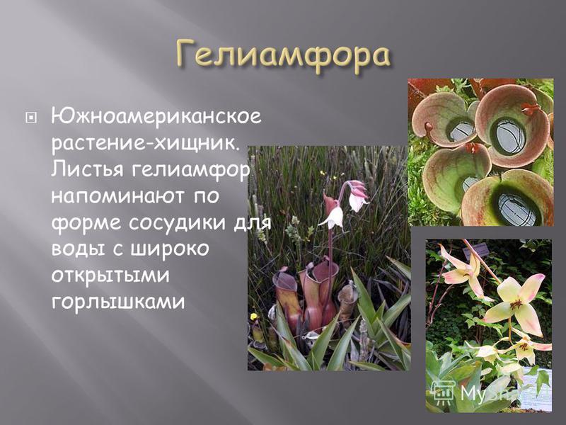 Южноамериканское растение-хищник. Листья гелиамфор напоминают по форме сосудики для воды с широко открытыми горлышками