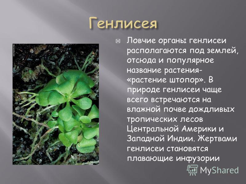 Ловчие органы генлисеи располагаются под землей, отсюда и популярное название растения- «растение штопор». В природе генлисеи чаще всего встречаются на влажной почве дождливых тропических лесов Центральной Америки и Западной Индии. Жертвами генлисеи