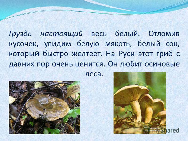 Груздь настоящий весь белый. Отломив кусочек, увидим белую мякоть, белый сок, который быстро желтеет. На Руси этот гриб с давних пор очень ценится. Он любит осиновые леса.