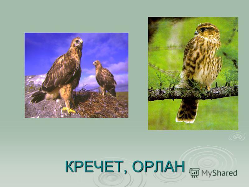 КРЕЧЕТ, ОРЛАН