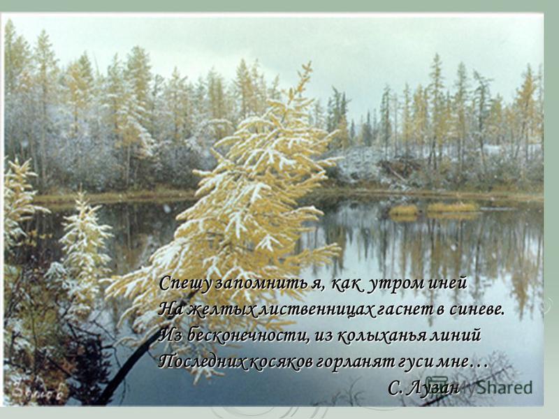 Спешу запомнить я, как утром иней На желтых лиственницах гаснет в синеве. Из бесконечности, из колыханья линий Последних косяков горланят гуси мне… С. Лузан С. Лузан
