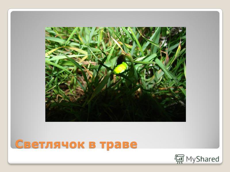 Светлячок в траве