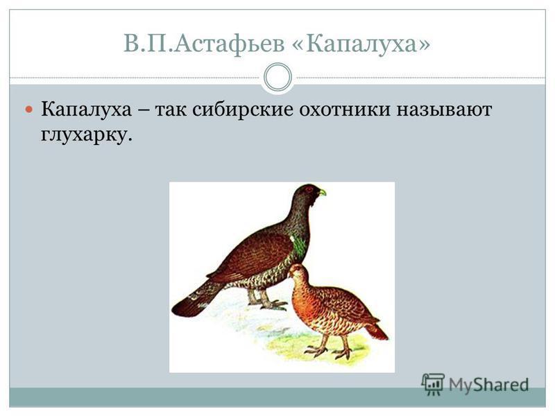 В.П.Астафьев «Капалуха» Капалуха – так сибирские охотники называют глухарку.