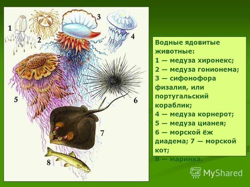 Водные ядовитые животные: 1 медуза хиронекс; 2 медуза гонионема; 3 сифонофора физалия, или португальский кораблик; 4 медуза корнерот; 5 медуза цианея; 6 морской ёж диадема; 7 морской кот; 8 маринка.