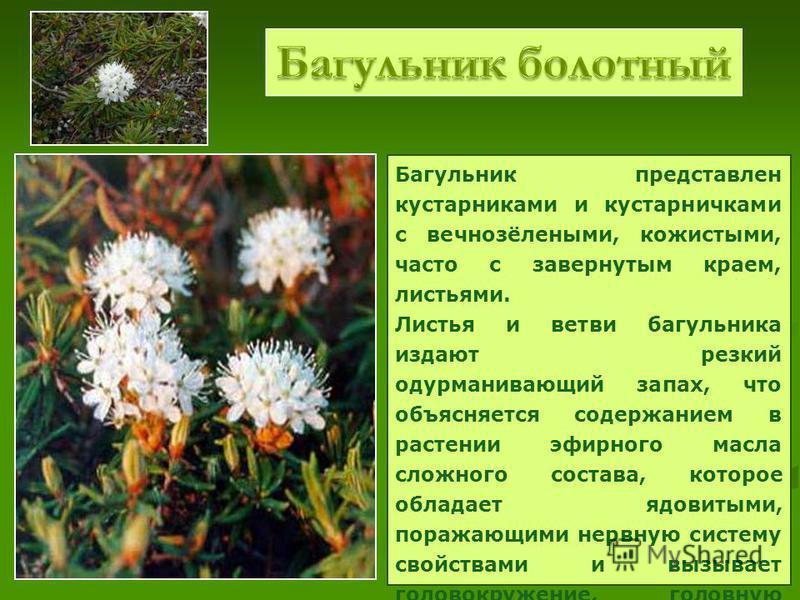 Багульник представлен кустарниками и кустарничками с вечнозёлеными, кожистыми, часто с завернутым краем, листьями. Листья и ветви багульника издают резкий одурманивающий запах, что объясняется содержанием в растении эфирного мазла сложного состава, к