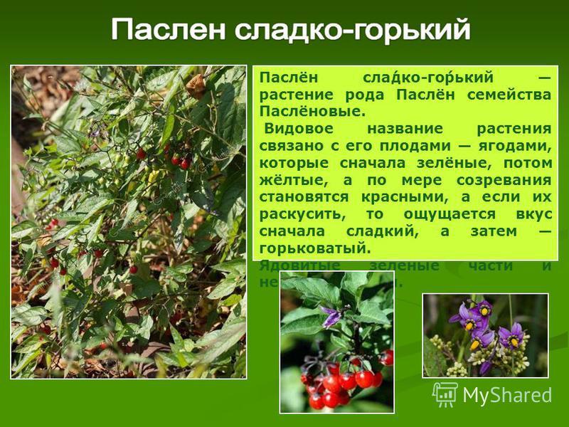 Паслён зла́дко-го́горький растение рода Паслён семейства Паслёновые. Видовое название растения связано с его плодами ягодами, которые сначала зелёные, потом жёлтые, а по мере созревания становятся красными, а если их раскусить, то ощущается вкус снач