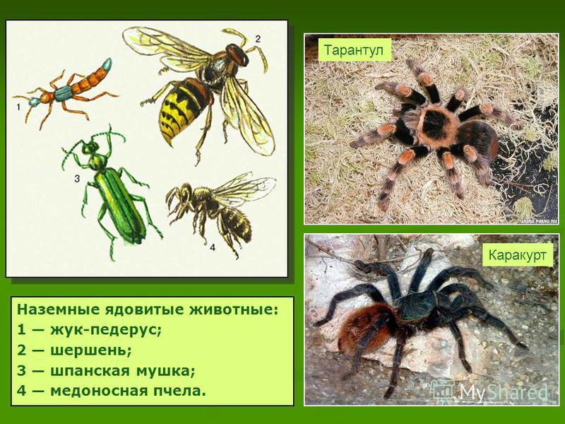 Наземные ядовитые животные: 1 жук-педерус; 2 шершень; 3 шпанская мушка; 4 медоносная пчела. Каракурт Тарантул